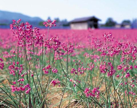 らっきょうの花
